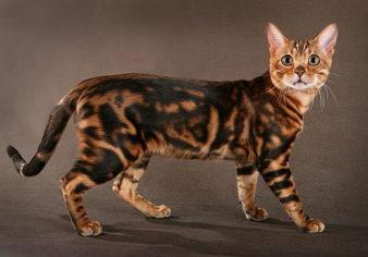 Как ухаживать за бенгальской кошкой? фото