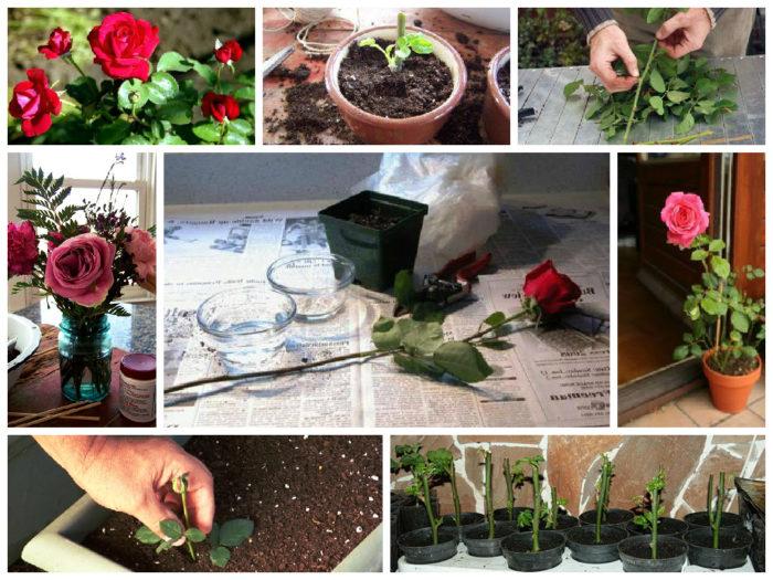 Фото как посадить розу из
