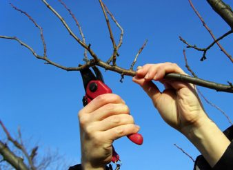Как правильно обрезать плодовые деревья? фото