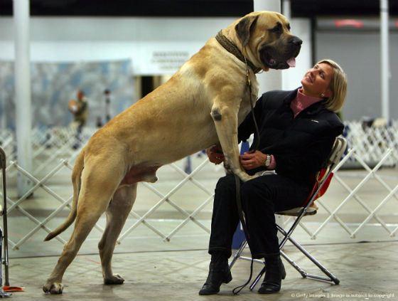 Какая порода собак самая большая в мире? фото