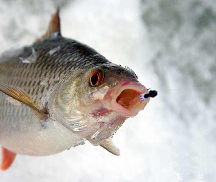 ловим рыбу зимой на течении