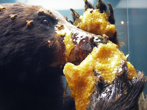 Медведь поедает мед