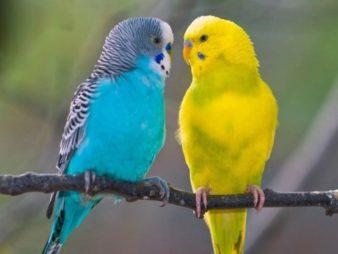 волнистые-попугаи